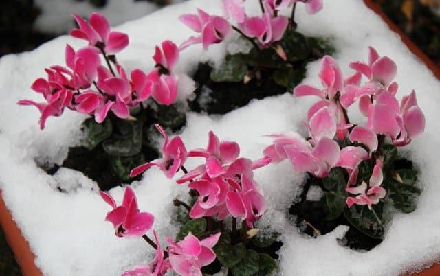 cyclamen-neige