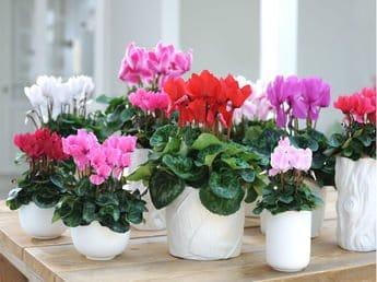 le-cyclamen-plante-d-interieur-a-decouvrir-en-novembre