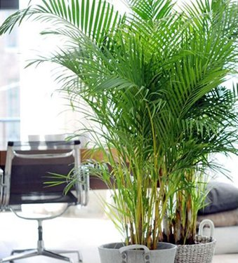 The-Areca-Palm