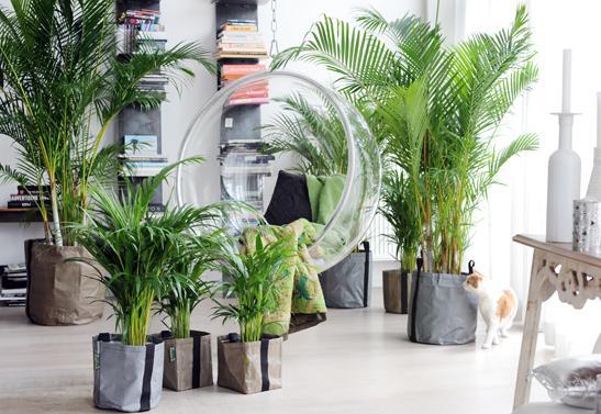 woonplant-areca-3-547x377